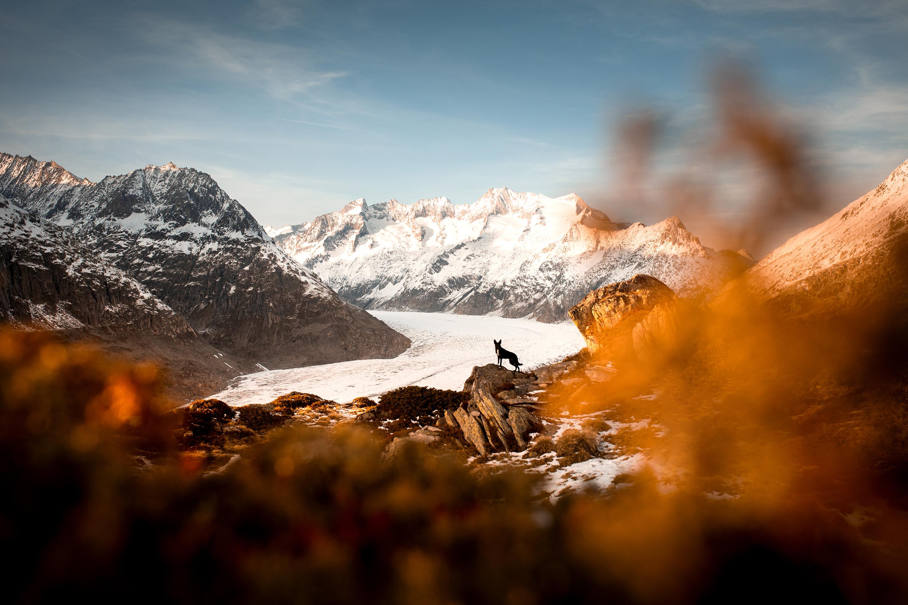 Ein schwarzer Schäferhund hebt sich markant vor dem weissen Aletschgletscher ab. Die Landschaft ist geprägt von hohen verschneiten Berggipfeln und herbstlich leuchtend orangen Heidelbeersträuchern. Der Alteschgletscher ist ein Gletscher im Kanton Wallis der Schweiz.