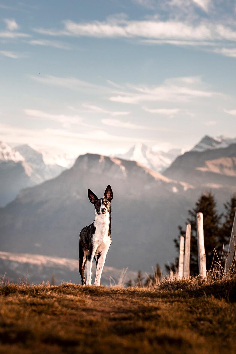 Ein schwarz weisser Podenco Hund vor einer Bergkulisse. Im Hintergrund ist der Zentralschweizer Berg Oberbauen.